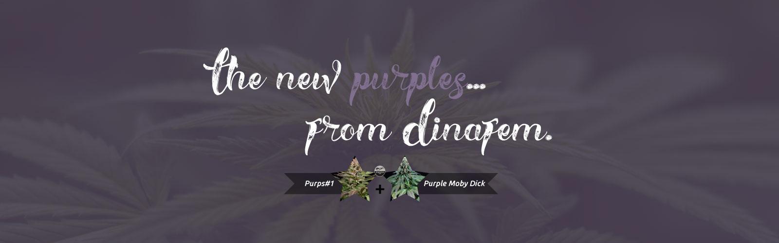 Dinafem-New-Purps-6