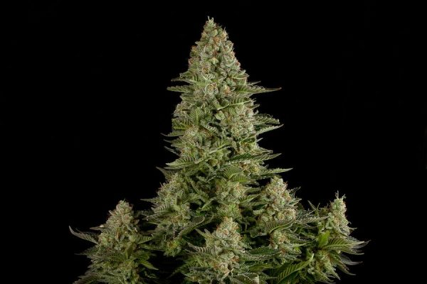 White_Widow-01-4_product_gallery