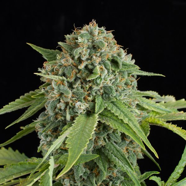 White_Widow_Autoflowering-05-5088_product_gallery