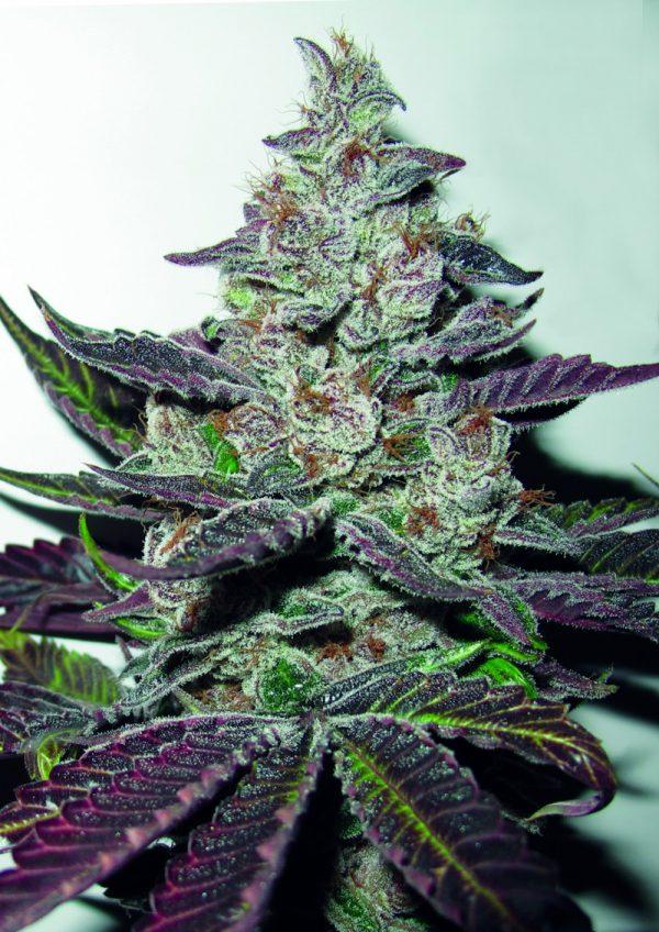 mendocino-purple-kush_small