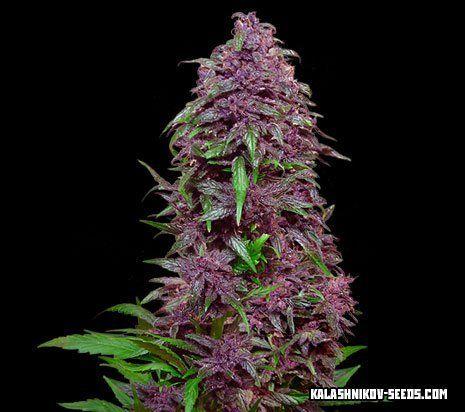 purple_mazar_auto_0_2
