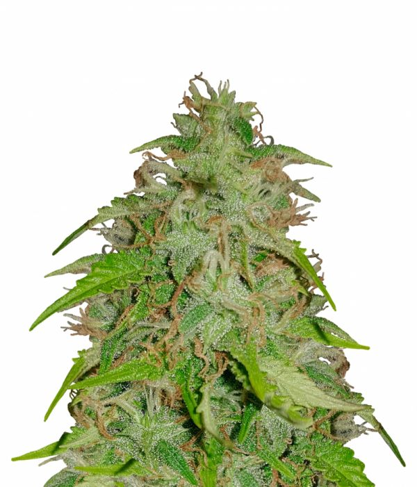 sensi-seeds-northern-lights-automatic