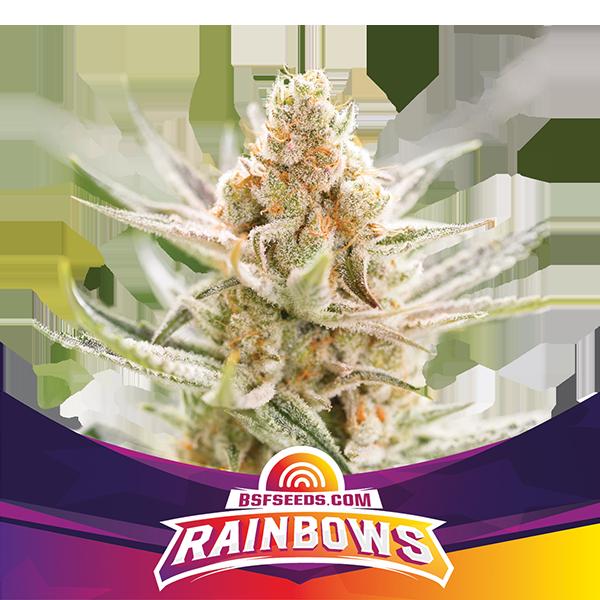 rainbows-BSF-Seeds-1